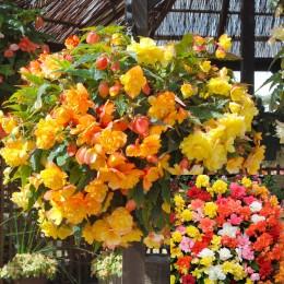 66 Trailing Begonia Illumination Collection