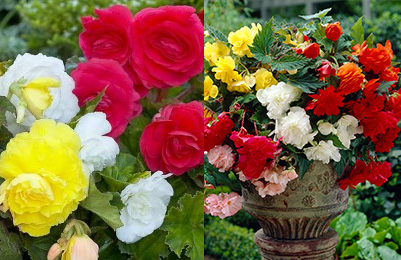Begonia Collections