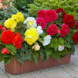 Begonia - Double Exhibition Collection