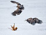 Pic By HotSpot Media - FIGHTING FOX IS BEATEN BY EAGLES ñIN PIC- The unlucky fox is defeated, as he lands on his head in a battle against these eagles on a frozen lake in Furen, Japan  - A fox takes a tumble and lands on his head when he tries to fend off a pair of eagles in Japan. Having spotted a tasty looking deer bone, the red fox attempts to eat the eaglesí lunch, but he quickly discovers the birds are in no mood to share. Japanese businessman Sanin Alexandr watched the scene unfold when he visited a frozen lake in Furen, Japan. The 54-year-old, of Nemuro, Japan, says: ëTwo young Steller's sea eagles and a group of crows were quarrelling over a deer bone, which a red fox had also noticed..ÖÖSEE HOTSPOT MEDIA COPY 0121 551 1004