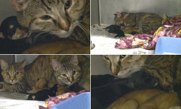 Utah cat becomes surrogate mother to four Chihuahua PUPPIES