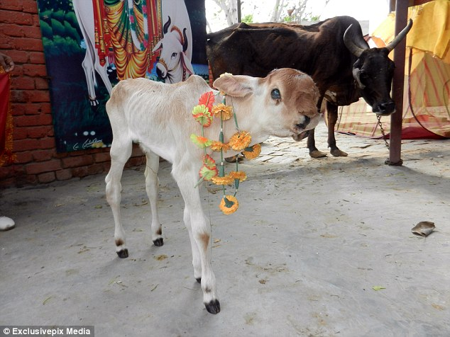 Garlanded: Wreaths such as those around the calf's neck are traditionally used in India during worship