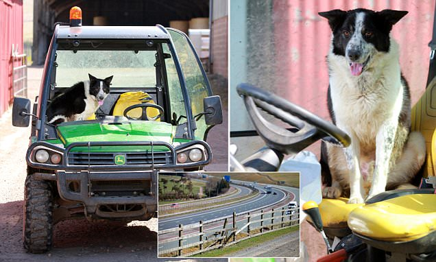 Abington SHEEPDOG 'takes control of tractor' and drives it onto M74