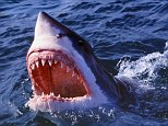 E4582J Great white shark jaws open at surface {Carcharodon carcharias} South Africa