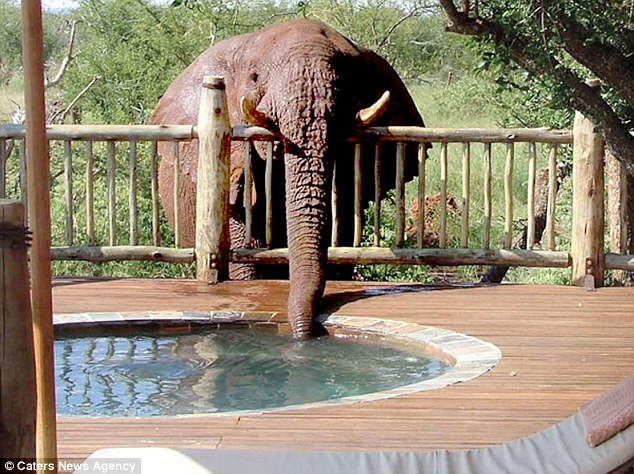 This elephant has taken such a liking to the Etali Safari Lodge's pools he has been nicknamed Troublesome
