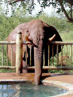 Cheeky elephant won't stop breaking into safari lodge and stealing from the pool
