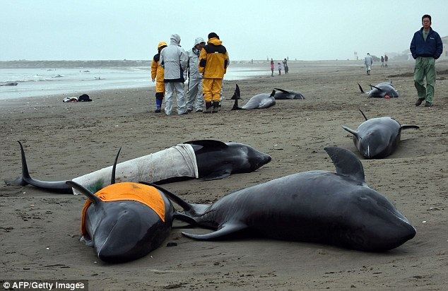 Scientists are still investigating what caused the whales to become stranded on the beaches of Hokota city