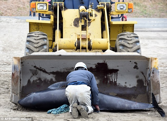 Officials have spent the weekend removing and buring the dead melon-headed whales after they stranded