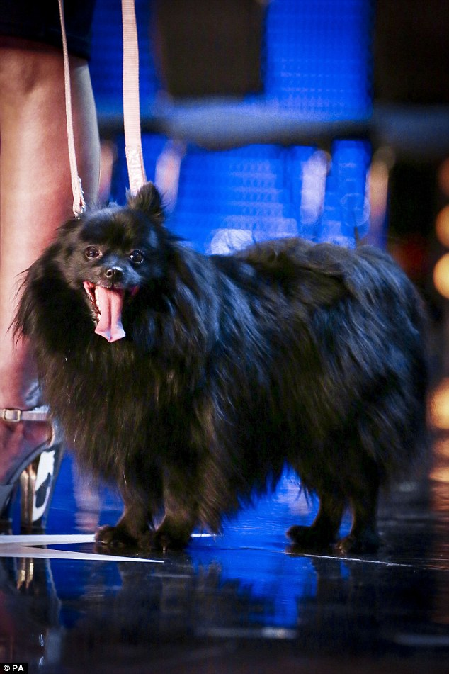 Impressive: German Spitz Princess leaves Simon Cowell feeling sleepy during the auditions