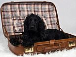 C03D2J Cocker Spaniel lying in a suitcase