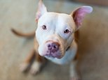 Pitbull puppy looking at camera --- Image by © pamelaoliveras/RooM the Agency/Corbis