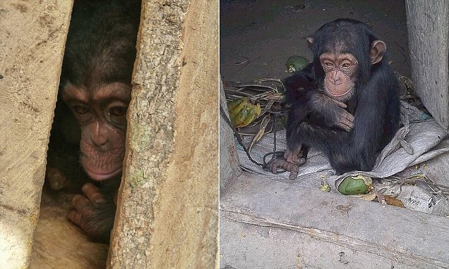 Baby chimp is rescued from animal traffickers who had killed her mother