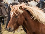 Television programme: Iceland: Land of Ice and Fire: Natural World - TX: 01/05/2015 - Episode: Iceland: Land of Ice and Fire: Natural World (No. n/a) - Picture Shows: Icelandic horse round up  - (C) Andrew Chastney - Photographer: Andrew Chastney