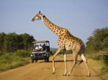 Tourists watching Giraffe (Giraffe camelopardalis) on road, Madikwe Game Reserve, North West Province, South Africa