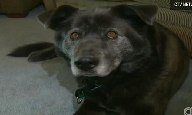 Hero: Rocky, a labrador-husky cross, helped to pull nine-year-old Samara to safety as she was being swept along an icy river in Canada