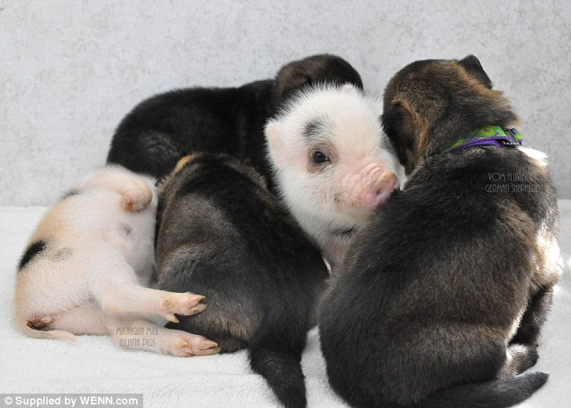 Adorable: A puppy and piglet nuzzle one another, while their litter mates take a nap behind them
