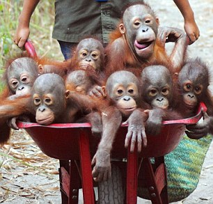 Naughty, naughty: While the orang-utans are usually happy to ride along in the wheelbarrows, staff said some do try to jump out - especially on the way back in the evening if they don't want to go to bed