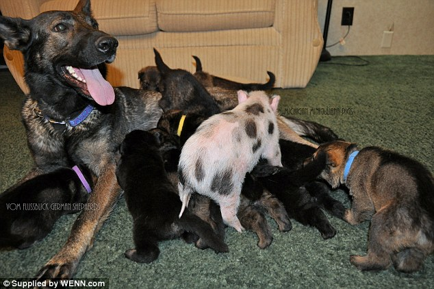 Part of the family: A piglet joins its puppy friends for a milk break