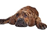 CYN5T7 Brazilian Mastiff also known as Fila Brasileiro puppy in front of a white background