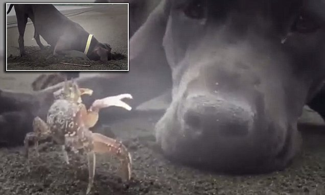 This friendship has legs! Determined dog digs hole to unearth crab on North Carolina