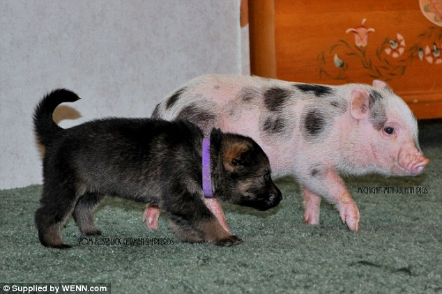 Trouble: A puppy and piglet mischievously trot across the floor in their search for fun