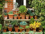 Collection of succulents in pots against brick wall on wooden staging, Oold Vicarage, East Ruston, Norfolk