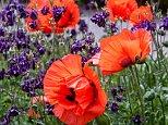 ER9JNM Oriental Poppy (Papaver orientale), flowers