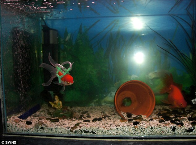 Tanked up: The new swimming aid has allowed Einstein to resume a normal life at his home in Blackpool, Lancashire