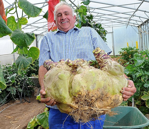 Record-breaker: Mr Neale, from Newport, South Wales, struggles to hold his mammoth swede, which weighed in at 85.5lbs (6st)