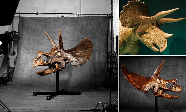 For sale, the 'world's largest dinosaur skull': 9ft-long intact Triceratops fossil is set