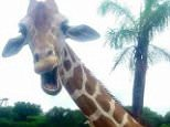 PIC FROM MERCURY PRESS (PICTURED: Giraffe photobombing Gary and Lisa's holiday photo)   A grinning giraffe stuck it's neck out and photobombed an unsuspecting couple's holiday selfie. Gary King, 29, and girlfriend Lisa Kennedy, 26, posed for a photo in front of a group of giraffes in Orlando in the American state of Florida. But when the couple went to take the shot one photogenic giraffe rushed forward and stunned Gary and Lisa by flashing a grin for the camera. SEE MERCURY COPY