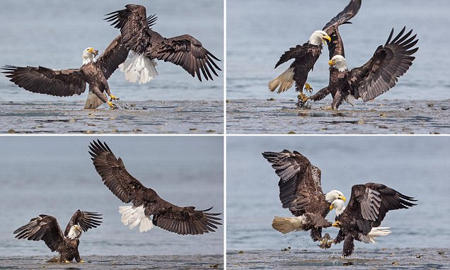 Fight not flight: Magnificent bald eagles wage war in mid-air as one bird of prey swoops