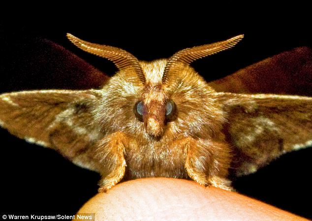 Furball: This hairy moth glows almost golden in another of the Moth Man's detailed images