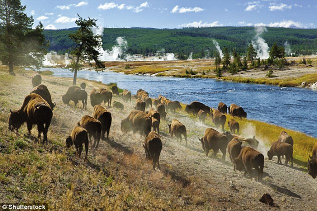 A really wild show: Buffalo graze in Yellowstone National Park - which crosses the Idaho state line