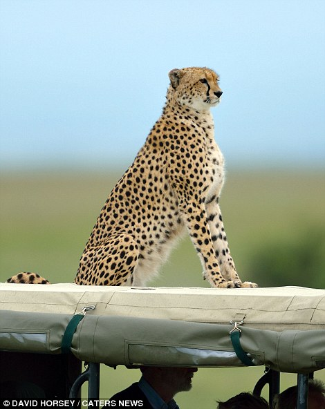 A group of cheetah's made themselves comfortable on - and inside - a tourist's safari jeep in Kenya.