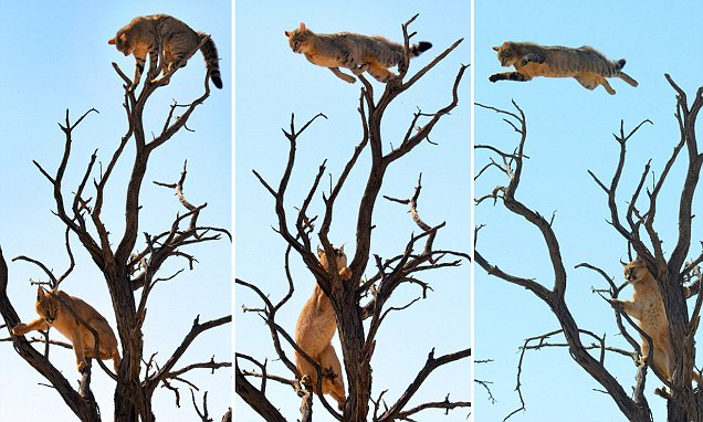 Cat's 100ft leap from tree to escape big cat predator above African savannah