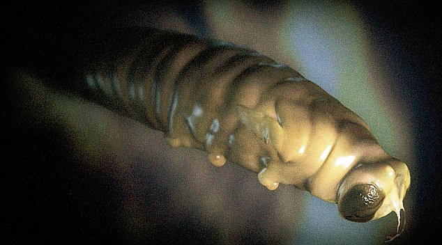 A cocooned parasitic wasp larva beginning to morph into adult form