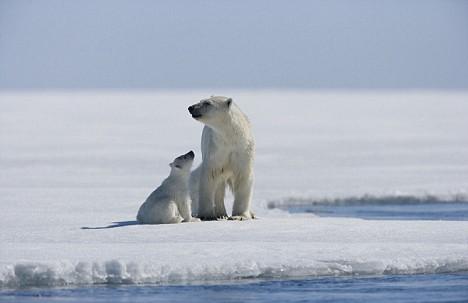 plolar bears