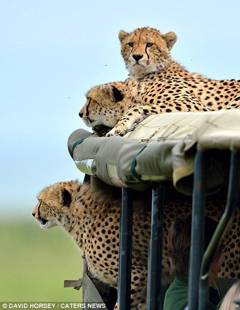 A group of tourists had been tracking the cheetahs for several days, including the clan's well-known mother, Malaika.