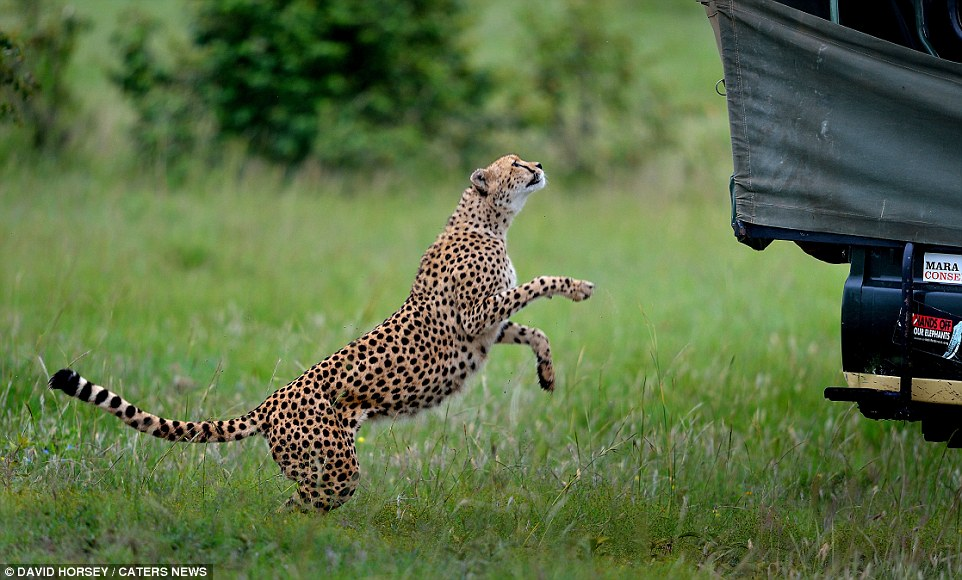 The group was a bit nervous after learning that the cheetah family hadn't had a kill for several days and were likely hungry