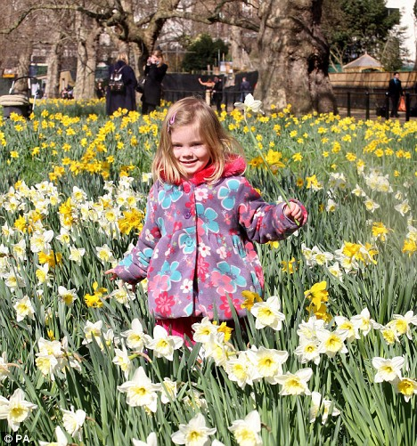 Aliisa King, four, plays amongst the daffodils in Green Park, London
