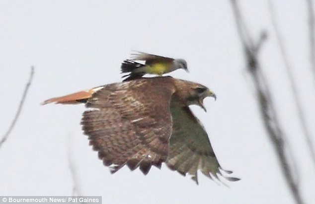 Tiny kingbird driving off a red-tailed hawk