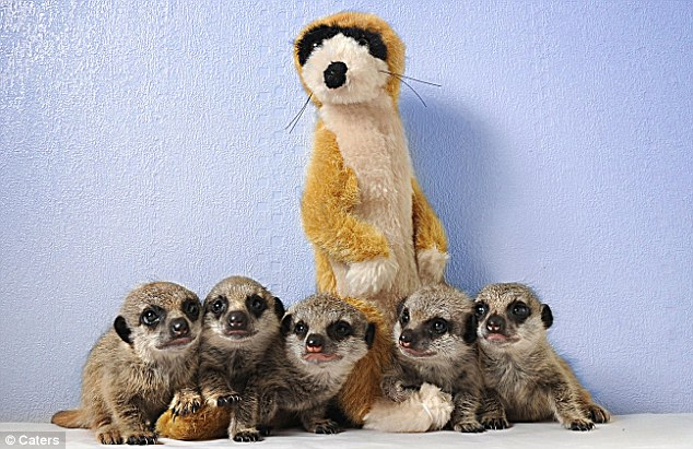 Mother figure: The cuddly toy has become a replacement mother for the meerkat babies