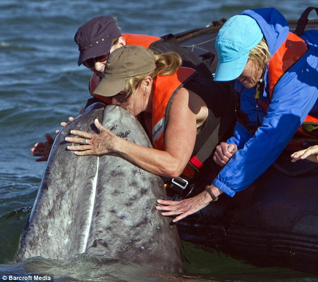 But we've only just met! A charming grey whale calf receives a kiss from a tourist in San Ignacio Lagoon on the Pacific side of the Baja Peninsula, Baja California Sur, Mexico