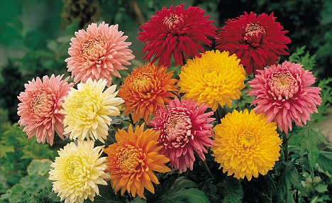 On the way out: The British Chrysanthemum can no longer compete with cheaper foreign imports
