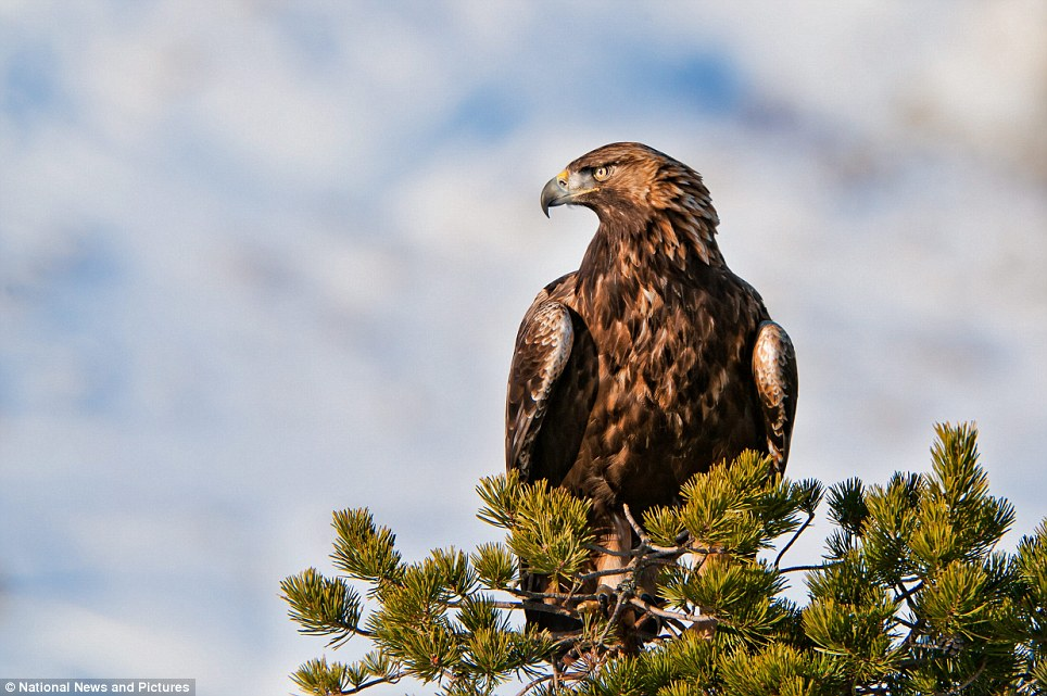 A golden eagle turns his pitiless gaze on the landscape