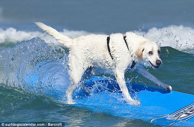 Barney caught a wave while standing up on his blue board and wound up as the calendar's cover boy