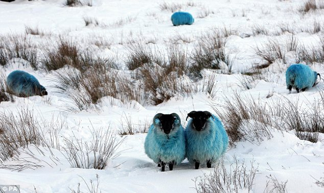 Feeling blue: Sheep were dyed a bright colour so farmers could spot them in the hills of County Antrim, Northern Ireland