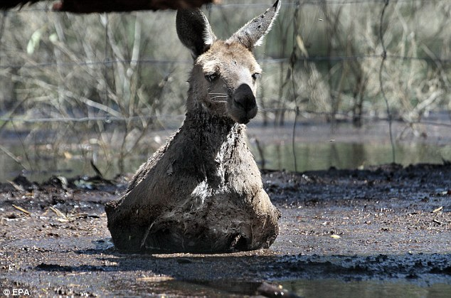 Stuck in the mud: A Kangaroo languishes at a Fauna Park in Warracknabeal after floodwaters left around 1000 households in Victoria's northwest without power
