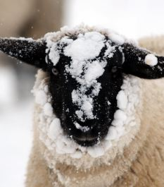 'Clever': Neuroscientists now say sheep are cleverer than we often give them credit for